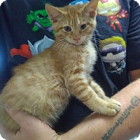 Domestic Mediumhair Cat for adoption in Owenboro, Kentucky - MARS