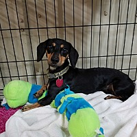 Dachshund Dog for adoption in Lubbock, Texas - Herbie