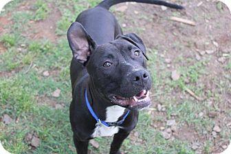 Labrador Retriever/Plott Hound Mix Dog for adoption in Burlington, North Carolina - Jack