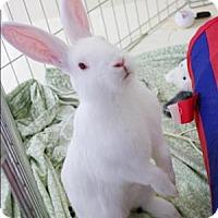 Adopt A Pet :: Snuggle Bunny - Williams Lake, BC