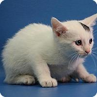 Adopt A Pet :: Cora - Overland Park, KS