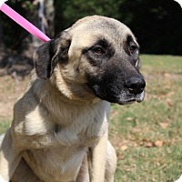 Adopt A Pet :: Lily - Conway, AR