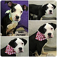 Adopt A Pet :: Milkshake - Forked River, NJ