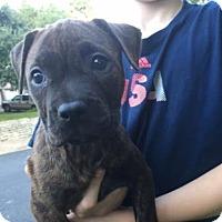 Adopt A Pet :: Sweet Tea - Austin, TX