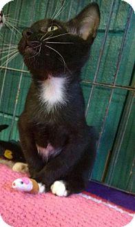 Domestic Shorthair Kitten for adoption in Seminole, Florida - Cheshire