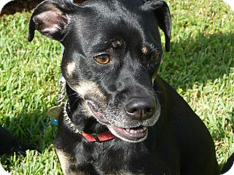 Rottweiler Mix Dog for adoption in hollywood, Florida - Maddie