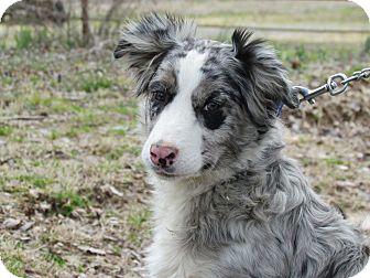 Stormy Adopted Dog Humboldt Tn Australian Shepherd