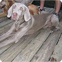Adopt A Pet :: Blue   **ADOPTED** - Eustis, FL