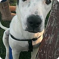 Adopt A Pet :: Polka - Bardonia, NY