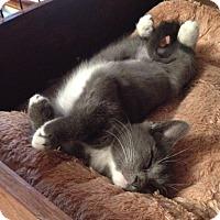 Adopt A Pet :: Pewter - Portland, ME