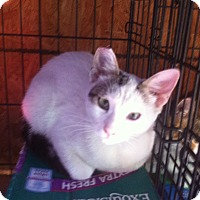 Domestic Shorthair Cat for adoption in Santa Monica, California - Patches