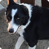 Adopt A Pet :: OREO - Phelan, CA