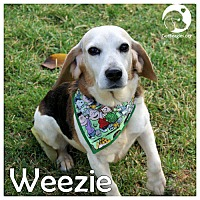 Adopt A Pet :: Weezie - Pittsburgh, PA