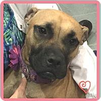 Adopt A Pet :: Amelia - Miami, FL