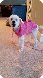 Poodle (Miniature) Mix Dog for adoption in Dartmouth, Massachusetts - Queenie