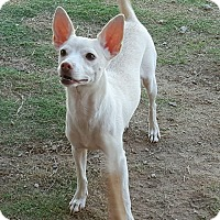 Adopt A Pet :: Cruiser - Las Cruces, NM