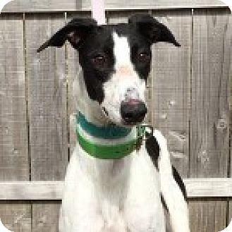 Greyhound Dog for adoption in Grandville, Michigan - CALS MISS TARA JO