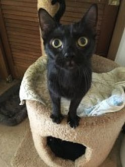 Domestic Shorthair Cat for adoption in Bonita Springs, Florida - Bruno