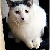 Domestic Shorthair Cat for adoption in Huntington, New York - Cactus