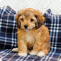 Adopt A Pet :: Bellossom - Los Angeles, CA