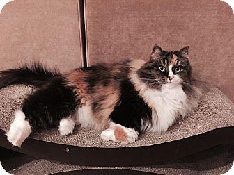 Siberian Cat for adoption in Greenwood Vlg, Colorado - Chingi