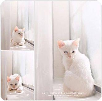 Domestic Shorthair Cat for adoption in DFW Metroplex, Texas - Squeaker Box