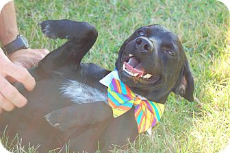Patterdale Terrier (Fell Terrier)/Beagle Mix Dog for adoption in Sawyer, North Dakota - Jaxx