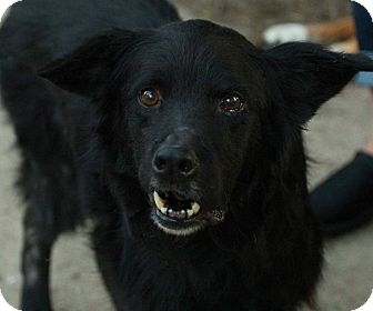 Border Collie/Retriever (Unknown Type) Mix Dog for adoption in Lafayette, Indiana - Baxter