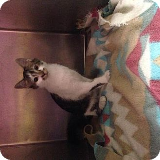 Domestic Shorthair Kitten for adoption in Valley Falls, Kansas - Nanna