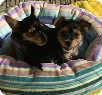 Yorkie, Yorkshire Terrier Mix Puppy for adoption in carlsbad, California - Marie and Donny