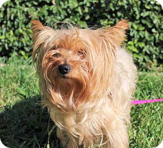 Yorkie, Yorkshire Terrier Dog for adoption in Modesto, California - Princess