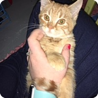 Domestic Shorthair Kitten for adoption in New Albany, Ohio - Scully