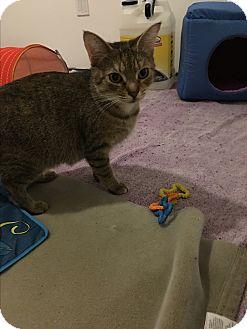 American Shorthair Cat for adoption in White Lake, Michigan - Lana