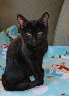 Domestic Shorthair Kitten for adoption in Middleton, Wisconsin - Sir Kibbles