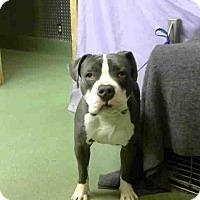 Adopt A Pet :: MAJOR - ID #A662383 - Beverly Hills, CA