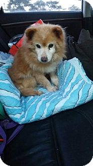 Pomeranian Mix Dog for adoption in Oakton, Virginia - Dodge