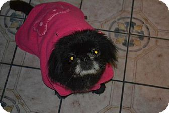 Pekingese Dog for adoption in San Diego, California - Happy