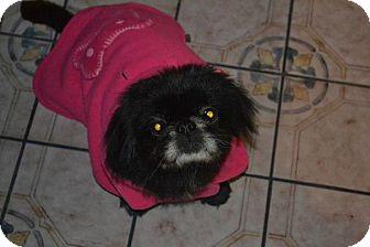 Pekingese Dog for adoption in San Diego, California - Happy
