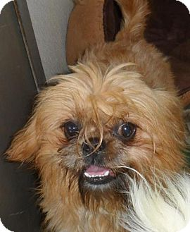 Shih Tzu/Brussels Griffon Mix Dog for adoption in Seattle, Washington - Talbot