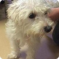 Adopt A Pet :: Nevaeh - Brattleboro, VT