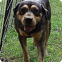 Adopt A Pet :: Barney Blue ($150 off) - Brattleboro, VT