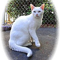 Adopt A Pet :: Snow White - Shelton, WA