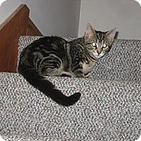 Adopt A Pet :: Linus - Portland, ME