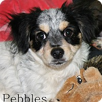 Adopt A Pet :: Atco, NJ - Pebbles - New Jersey, NJ