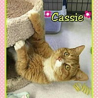 Domestic Shorthair Cat for adoption in Atco, New Jersey - Cassie