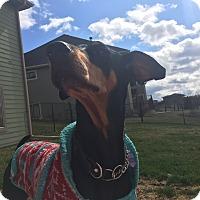 Adopt A Pet :: Stella - Buffalo, MN