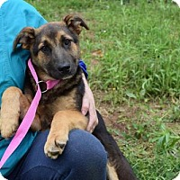 Adopt A Pet :: Pup Nickie - Rockville, MD