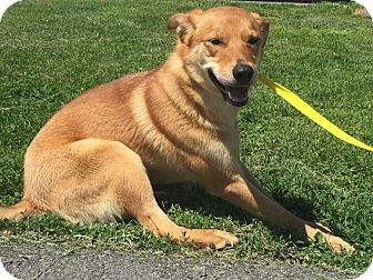 Labrador Retriever Mix Dog for adoption in Gallatin, Tennessee - Ginger