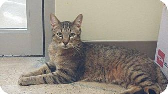 Domestic Mediumhair Cat for adoption in Balto, Maryland - Tigger