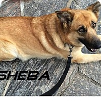 Adopt A Pet :: Sheba - Happy go lucky! - Huntsville, ON